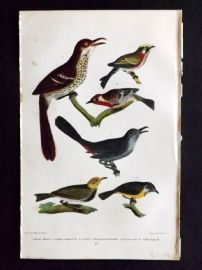 Alexander Wilson 1877 Bird Print. Brown Thrush, Golden Crowned Thrush,